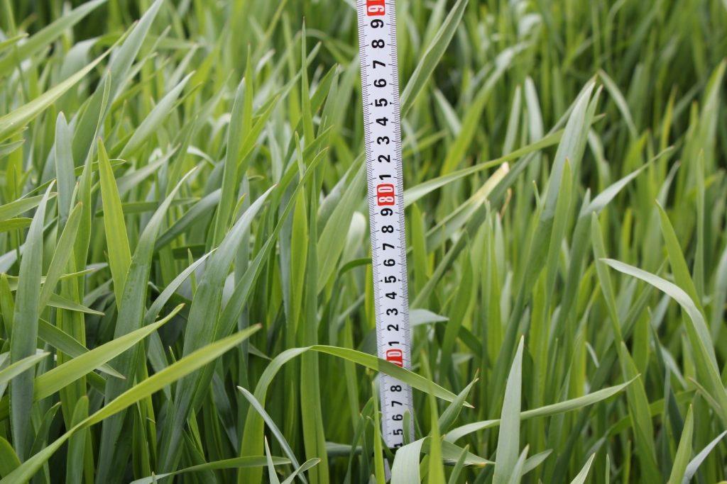 De ideale gewaslengte bij maaien is 60-70 cm.